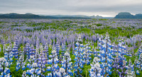 Lupine Field, South Eastern Iceland